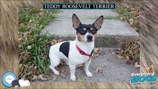 Teddy Roosevelt Terrier  Everything Dog Breeds
