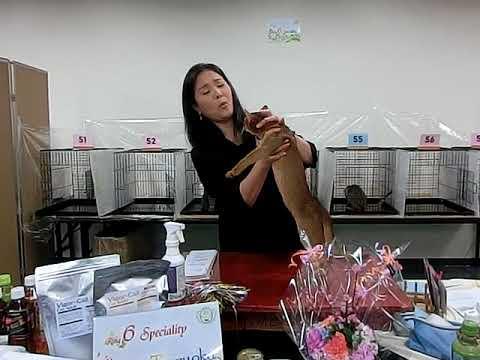 abyssinian kitten chiaki in gcs cat show  子猫の千秋