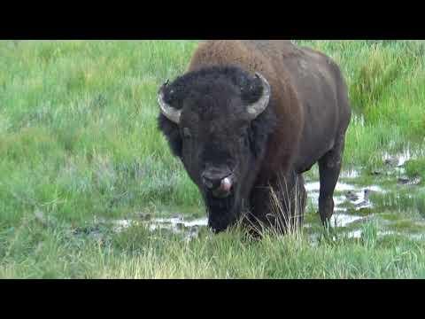 Yellowstone National Park, Wyoming Bison