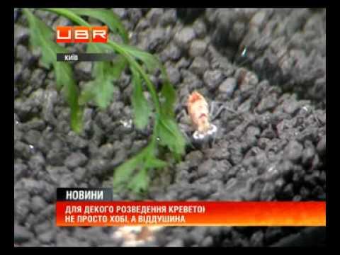 Українці активно розводять креветок