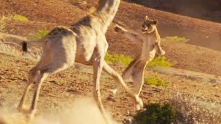 Le lion le plus mal barré d'Afrique - ZAPPING SAUVAGE