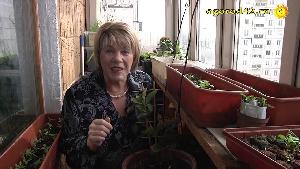 Купить саженцы гортензии в интернет-магазине русский огород. Всегда самый свежий посадочный материал и чудесные сорта. Широкий выбор и доставка по рф почтой.