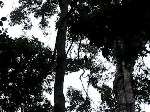 spot the monkey high in the tree in suriname forrest