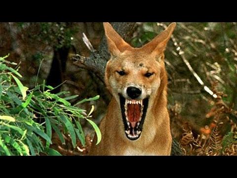 El perro mas PELIGROSO y Salvaje de Toda Australia
