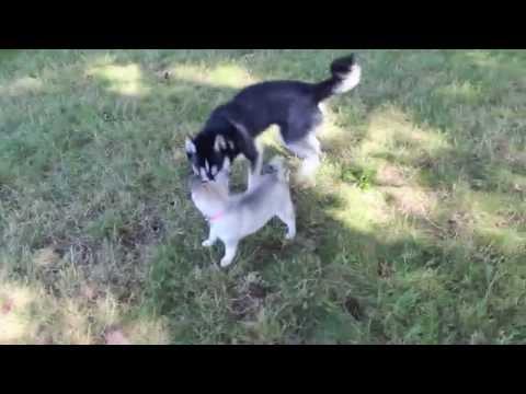 Mia the Alaskan Klee Kai | Mia Meets Mishka