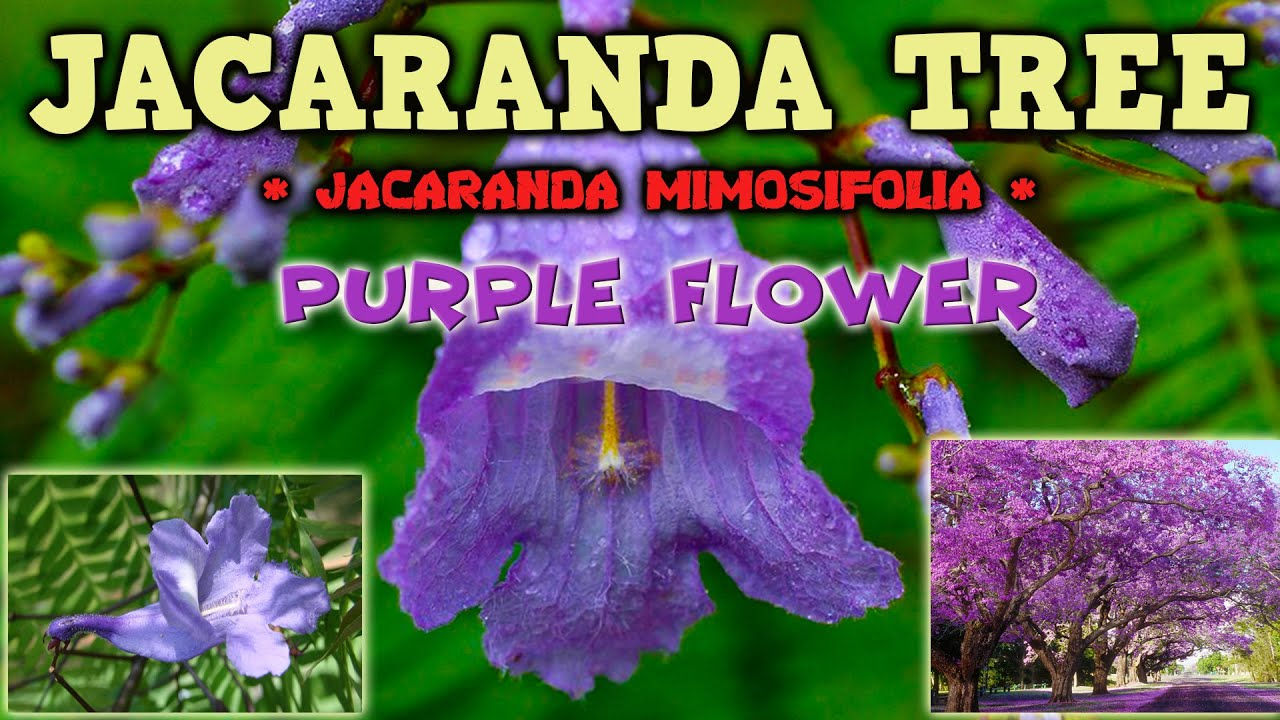 Jacaranda Tree With Beautiful Purple Flowers Youtube