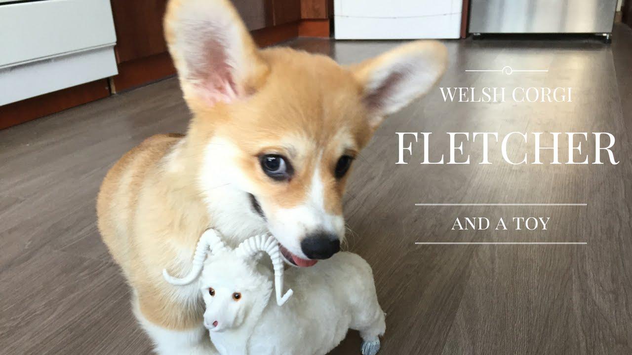 Объявления. Собаки, щенки вельш корги пембро, фото. Цена 850 €. Продается щенки велш корги пембрук, малчик д. Документы качественны щенки.