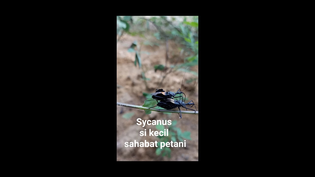 Kandang buat si hitam kecil pembunuh ulat kelapa sawit#Sycanus#