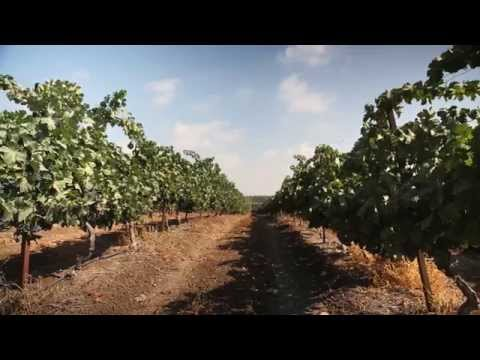 How to grow Wine Grapes