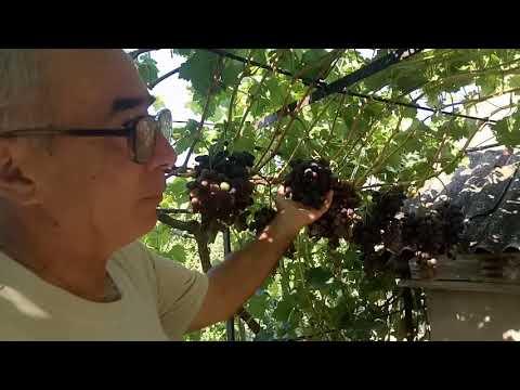 Работа с гроздями винограда для более быстрого вызревания ягод