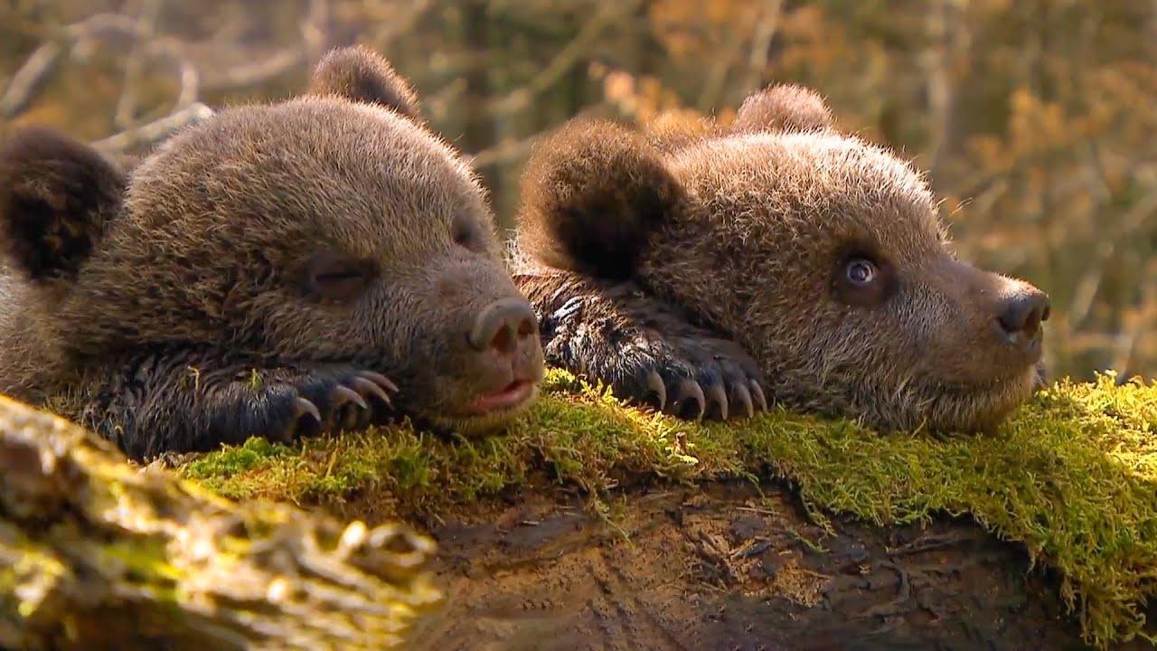 【万物有光】两只吃羊奶长大的熊,竟被一头小野猪吓上了树,简直萌化了