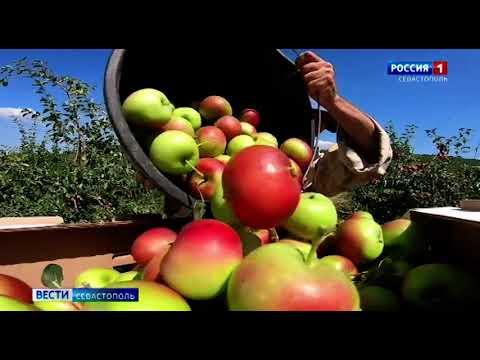 В Севастополе начался сбор урожая яблок
