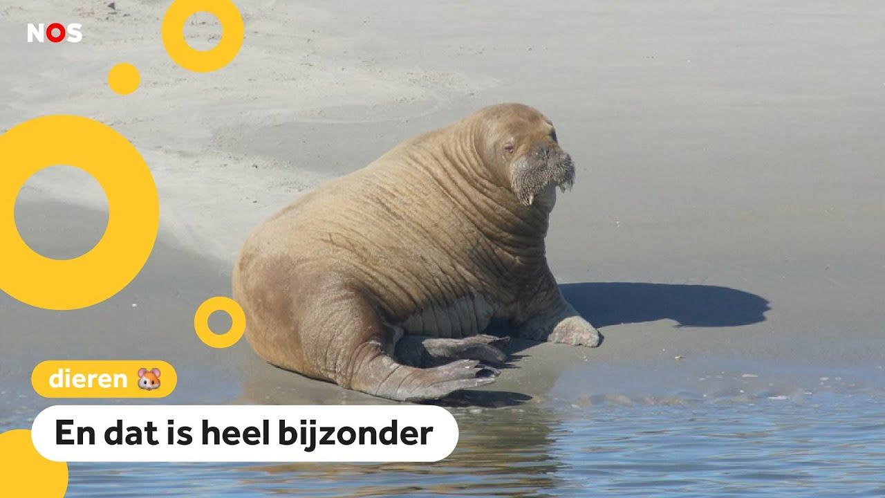 Download Verdwaalde walrus gezien bij Schiermonnikoog