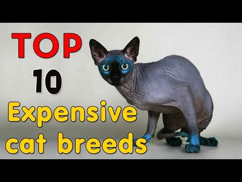 TOP 10 MOST EXPENSIVE CAT BREEDS - ANIMAL BEAST