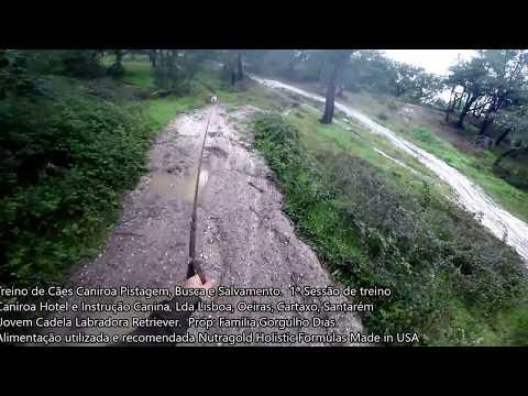 Cadela Labrador na Caniroa Pistagem, Busca e Salvamento
