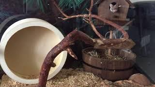Мышь декоративная