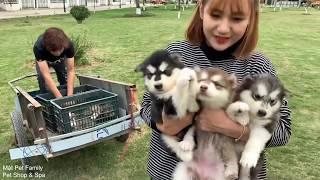 Mật Ra Cánh Đồng Trộm 11 Chó C๐n - Chạy Toé Khói- Mật Pet Family