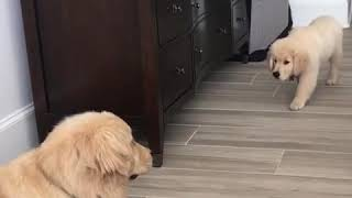 Golden Retriever Puppy Hunts Adult Dog During Play - 1010521