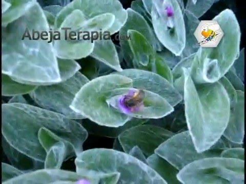 abejas de flor en flor de YouTube · Alta definición · Duración:  2 minutos 3 segundos  · 48 visualizaciones · cargado el 06.04.2015 · cargado por Juan Garcia Garcia