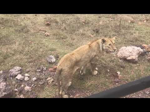 Tanzania  SAFARI : Ngorongoro Conservation Area