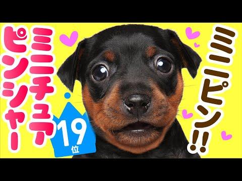 ❤️人気19位【ミニチュア・ピンシャーってどんな犬?】子犬の価格や性格、寿命、飼いやすさは? カワイイ動画でチェック!