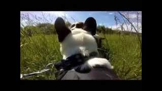 Walkies With A Gopro Fetch (dog Harness) - French Bulldog