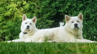 JAPANESE AKITA INU/ from puppy to adult