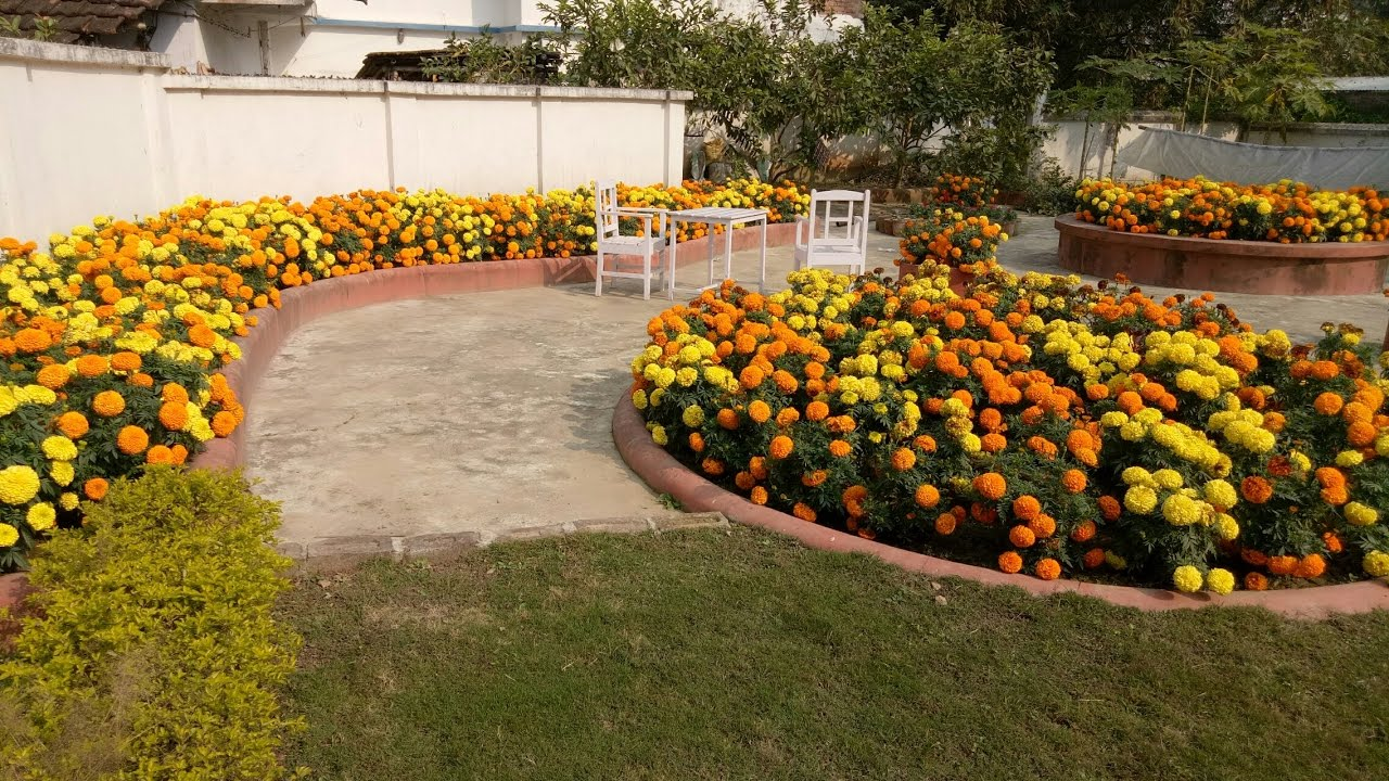 BEAUTIFUL HOME MADE MARIGOLD FLOWERS GARDEN OF INDIA(WINTER SEASON ...