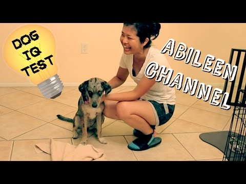 Testing My Dog's Intelligence (Aussie x Labrador Mix) - Dog IQ Test - Abileen Channel