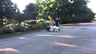 9 Dog Pack Walk | Matt Hendricks - Follow The Leader Dog Training And Rehabilitation Llc