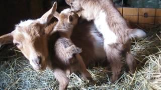 Dancing Pines Nigerian Dwarf Dairy Goat