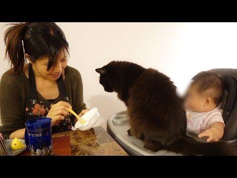 離乳食が食べたくなって赤ちゃんに割り込んだねこ、しおちゃん Theo wanted to try baby food