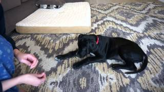 10 Week Old Great Dane Training