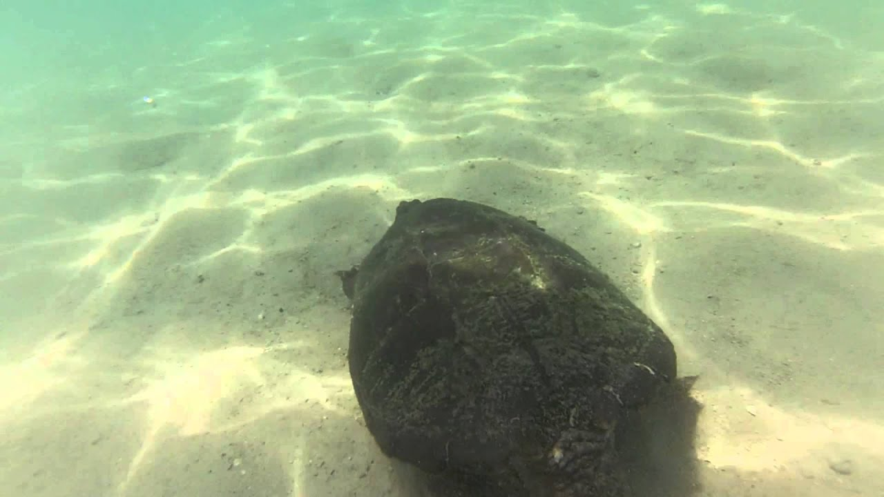 Giant Snapping Turtle Lake Avalon Michigan GoPro 2013