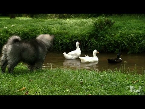 Wild Goose Chase | Too Cute!