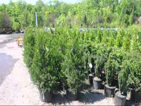 Junipers For Screening A Hetz Columnar Juniper Youtube