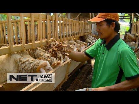 Kece, Kampung di Semarang Sediakan Kambing Unggulan - SAMBANG SEDULUR