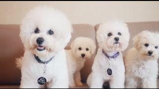 Бишон Фризе ➠ Узнайте все о породе собаки