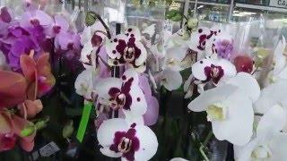 Цветы. Орхидеи (фаленопсис) в садовом центре