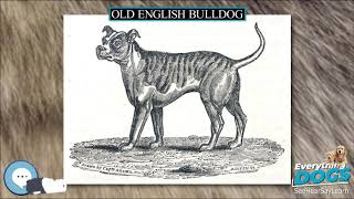 Old English Bulldog  Everything Dog Breeds