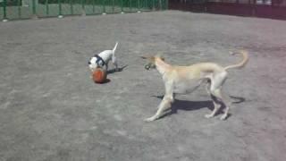 保護犬サルーキのサラちゃん ドッグランで走ります!
