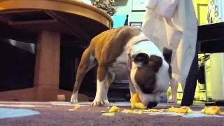 Vegetarian Puppies Eat Squash - Staffordshire Bull Terrier