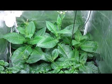 My Indoor Garden: Virginia Gold Tobacco And Trinidad Moruga Scorpions (7/18/13)