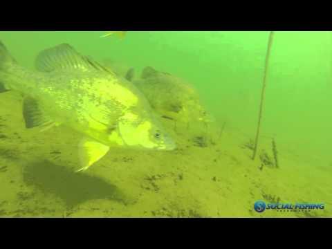 Underwater footage of Golden Perch in Blowering