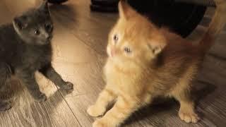 Русская голубая кошка, полупородистый котенок играет