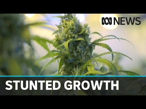 Australian Medicinal Cannabis Shares Take A Hit As Market Reality Sets In | ABC News