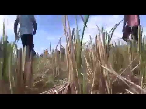 ARTIBONITE : Le riz vietnamien  Jasmine de la NatCom detruit les plantations haïtiennes