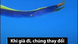 Loài lươn biển thay đổi giới tính khi về già | Thegioidongvat.Co