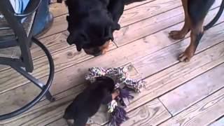 Rottweiler Puppy Takes On Huge Rottweiler