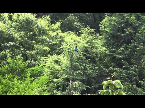 ブッポウソウ Dollarbird Eurystomus orientalis